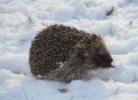 snow and hedgehog 052
